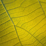 Macro texture of tree leaf for backgound Royalty Free Stock Photos