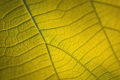 Macro texture of tree leaf for backgound Royalty Free Stock Image