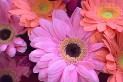 Macro texture of vibrant colored Daisy flowers Stock Image