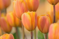 Macro texture vibrant colored spring Tulip flowers royalty free stock photography