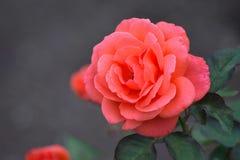 Macro texture of vibrant orange colored rose petals Stock Photos