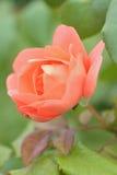 Macro texture of vibrant orange colored rose petals Stock Images