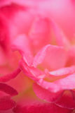 Macro texture of vibrant pink colored rose petals Royalty Free Stock Photo