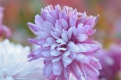 Macro texture of white & purple colored Dahlia flowers Stock Images