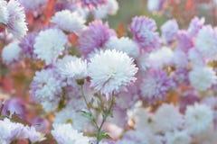 Macro texture of white & purple colored Dahlia flowers Royalty Free Stock Photo