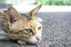 Macro thai cat royalty free stock photo