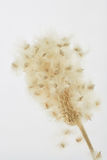 Macro of Thimble Weed Gone to Seed. Macro of the cotton-like thimble weed gone to seed Royalty Free Stock Images