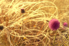 Macro thistle flower on the field in sunset light Royalty Free Stock Image