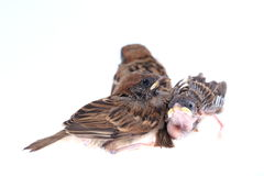 Macro three baby brood sparrow isolated on white background. Macro three baby birds brood sparrow isolated on white background Royalty Free Stock Photography