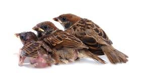 Macro three baby brood sparrow white background. Macro three baby brood sparrow white background Stock Image