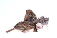 Macro three baby brood sparrow white background. Macro three baby brood sparrow white background Royalty Free Stock Image