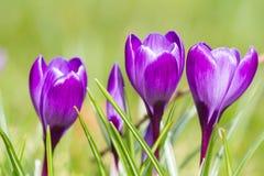 Macro of three violet crocus Stock Photography