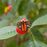 Macro of tiger Longwing butterfly (Heliconius hecale) stock photos