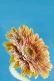 Macro tir étonnant de fleur de marguerite de gerbera dans l'eau avec des bulles sur le fond bleu Images stock