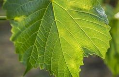 Macro tir étroit étonnant de feuille verte Photographie stock