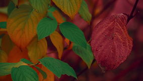 Macro tir d'Autumn Fall Red Leaf clips vidéos