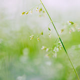 Macro tir d'herbe avec des graines Photos stock