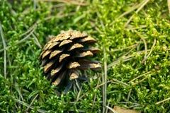Macro tir d'un cône de pin images libres de droits