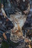 Macro tir d'un grand arbre, mâché par des castors en automne images libres de droits