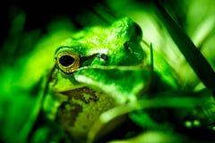 Macro tir d'une grenouille d'arbre européenne Photographie stock libre de droits