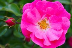 Macro tir d'une rose rose avec le pollen jaune photo libre de droits