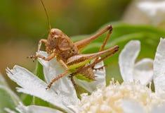 Macro tir d'une sauterelle brune sur une fleur blanche Photographie stock libre de droits