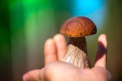 Macro tir de champignon à disposition Champignons de cueillette dans la forêt en automne tôt images stock