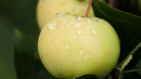 Macro tir de deux pommes mûres banque de vidéos