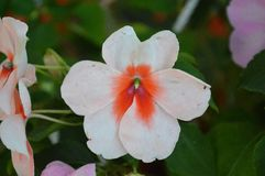 Macro tir de fleur blanche photos stock