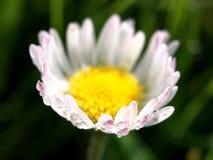 Macro tir de fleur de marguerite commune Images stock
