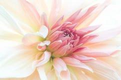 Macro tir de fleur intérieur, pétales roses, tache floue subtile photos stock