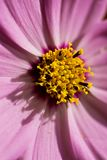 Macro tir de fleur rose Photographie stock libre de droits