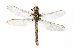 Macro tir de libellule sur le fond blanc Photographie stock