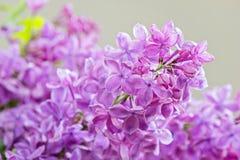Macro tir de lilas Photographie stock libre de droits