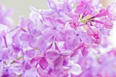 Macro tir de lilas Photos libres de droits