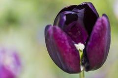 Macro tir de plan rapproché des pétales et de l'étamine de la tulipe néerlandaise pourpre en parc de Keukenhof Image libre de droits