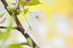 Macro tir de pommier de floraison Image stock