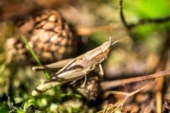 Macro tir de sauterelle, attrapé tout en sélectionnant des champignons et des canneberges dans la forêt en automne tôt Images stock