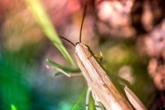 Macro tir de sauterelle, attrapé tout en sélectionnant des champignons et des canneberges dans la forêt en automne tôt Image stock