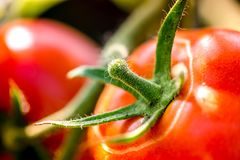 Macro tir de tomates mûres Image stock