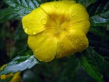 Macro tir en gros plan d'une fleur jaune avec des waterdrops sur ses pétales photographie stock