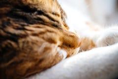Macro tir en gros plan de sommeil mignon de chat Photographie stock