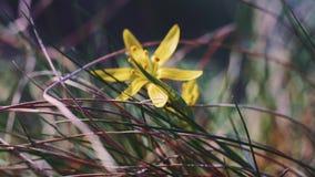 macro tir 4k en gros plan de petite fleur sauvage jaune de champ banque de vidéos