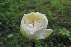 Macro tir sur la belle floraison de fleur de lotus blanc photo libre de droits