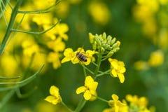 Macro tiro di foto dell'ape Giacimento del seme di ravizzone nel bacground blurry immagine stock