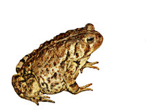 Macro Toad Isolated on White Royalty Free Stock Images