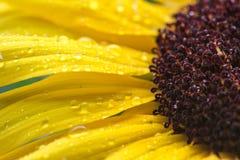 Macro tournesol jaune avec des gouttes de pluie Images stock