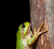 Macro of tree frog Royalty Free Stock Photos