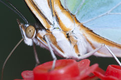 Macro of a tropical butterfly Royalty Free Stock Images