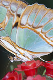 Macro of a tropical butterfly Stock Photo